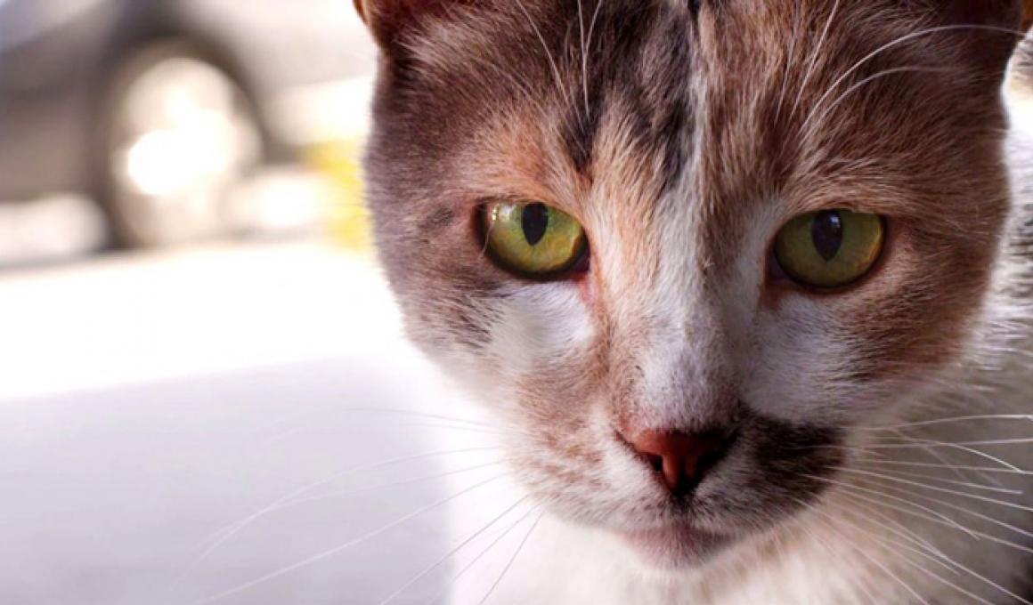 οι γατες της κωνσταντινουπολης